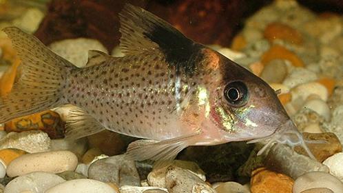 Todo lo que necesitas saber sobre el pez gato for Lista de peces tropicales para acuarios